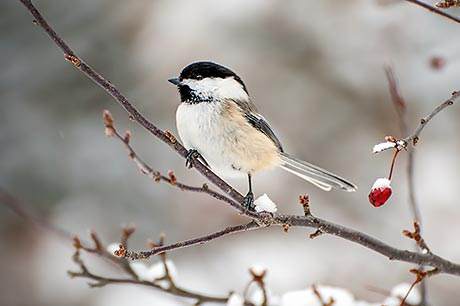A black-capped chickadee resting on a branch.