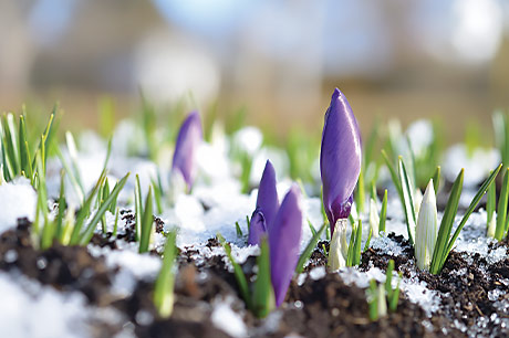 A purple crocus begins to bloom through the Pennsylvania snow.